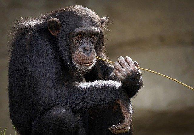 šimpant