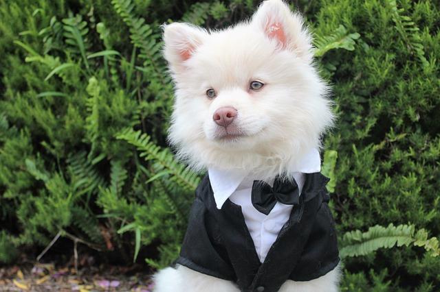 Biely pes v svadobnom smokingu s motýlikom