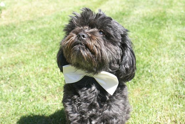 Čierny pes s bielim svadobným motýlikom